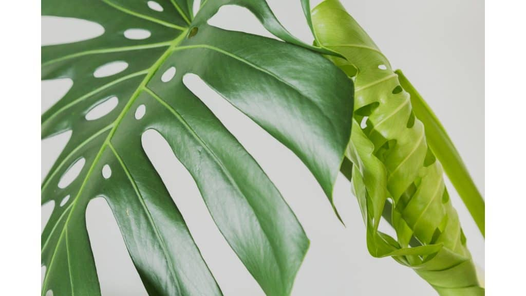 a new monstera leaf waiting to unfurl