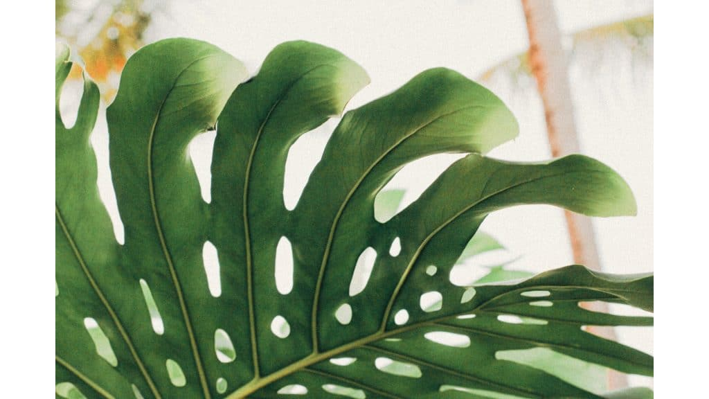 a close up of a mature monstera plant and its splitting of the leaves
