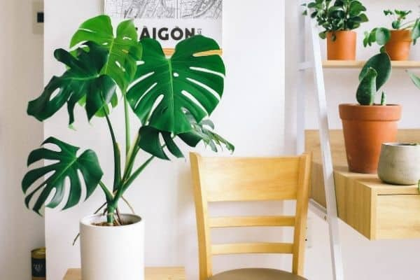 a thriving monstera plant receiving indirect sunlight in a room