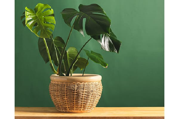 a monstera plant receiving indirect lighting in a brown basket