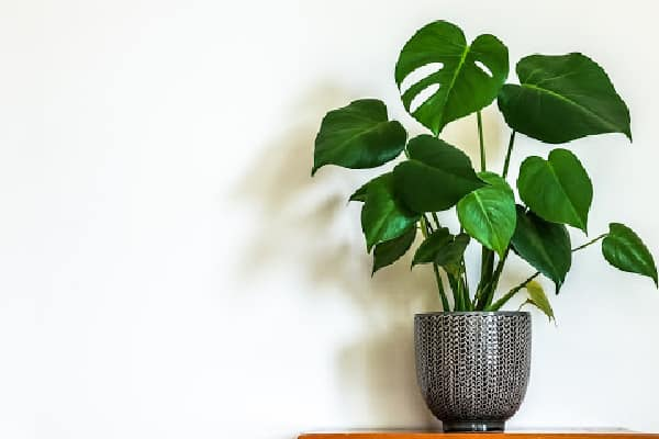 a monstera plant that has heart shaped leaves