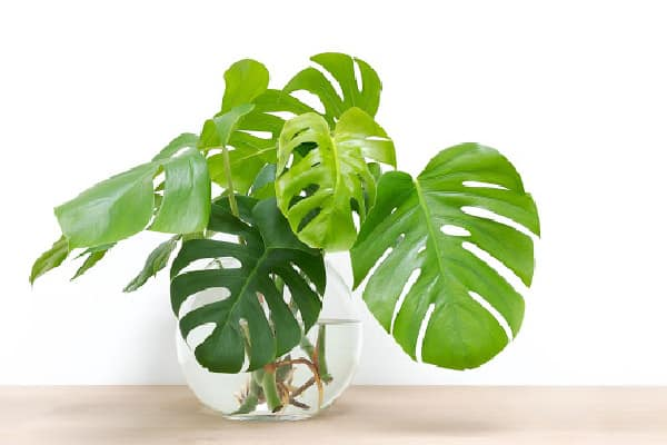 a healthy monstera plants cutting placed in water with roots already growing