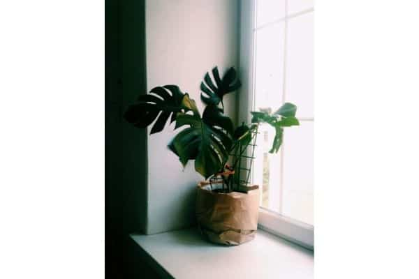 a monstera plant receiving indirect lighting through the window
