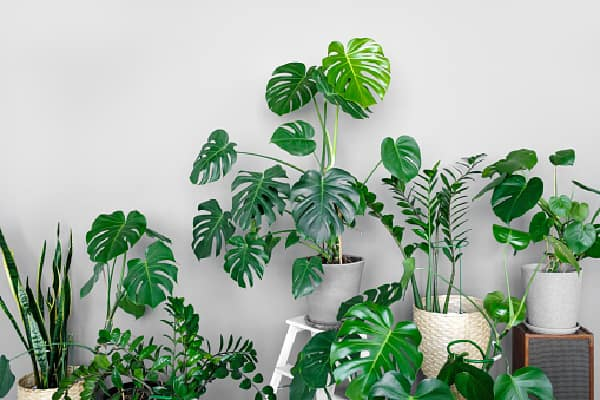 grouping split leaf monsteras together along with other tropical houseplants