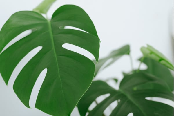 a close up of a fenestrated monstera leaf splitting
