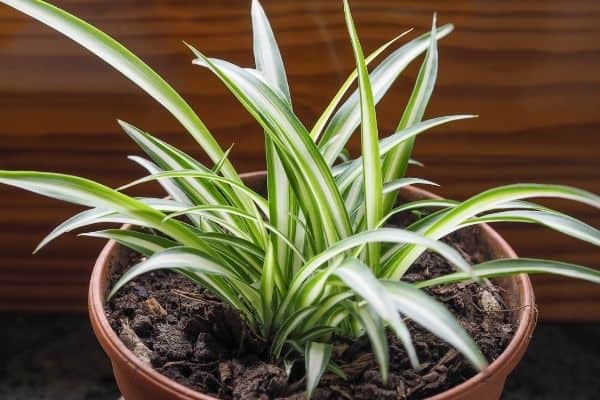 a spider plant placed in an area with bright lighting