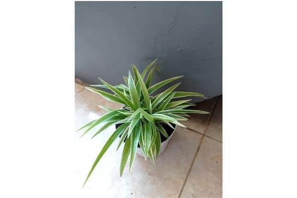 full grown spider plant