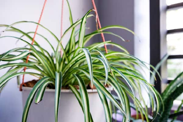a close up of a healthy spider by following the steps in why is my spider plant pale and limp