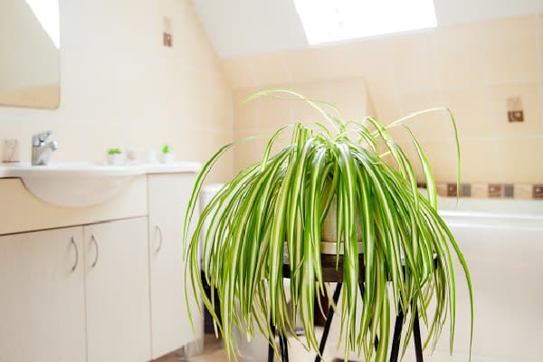 a healthy spider plant placed in a room with bright light