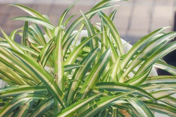 spider plant images