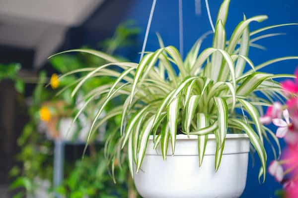 a hanging spider plant