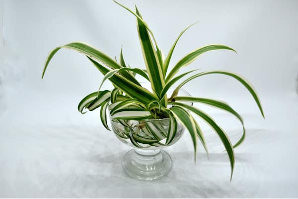 curly spider plant babies propagating in a glass container