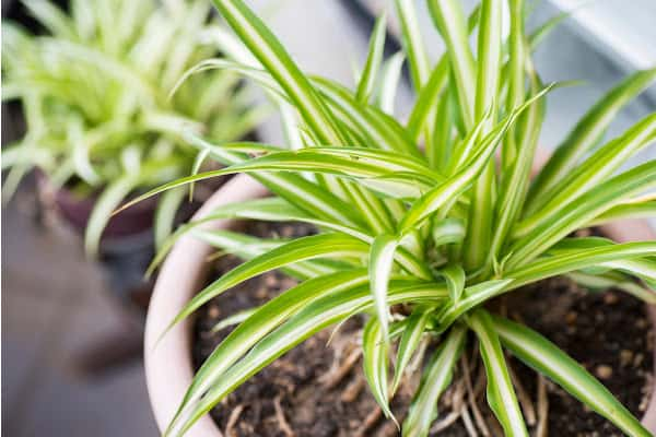 vibrant spider plant leaves from the article, why is my spider plant pale and limp