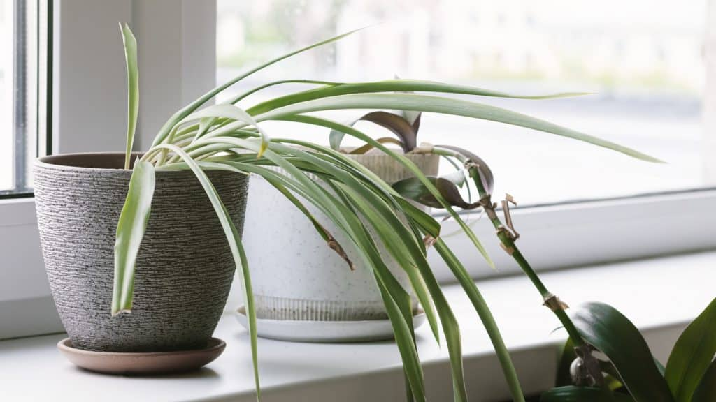 a pale and limp spider plant sitting on a windowsill