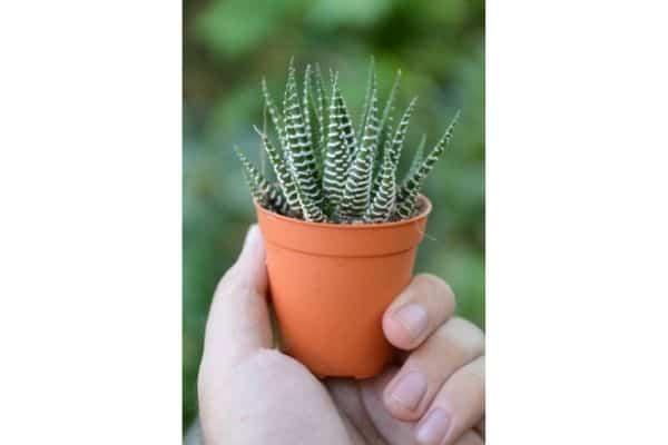 a mini zebra succulent in a terracotta pot