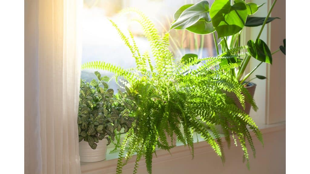 monstera receiving plenty of bright light on a windowsill