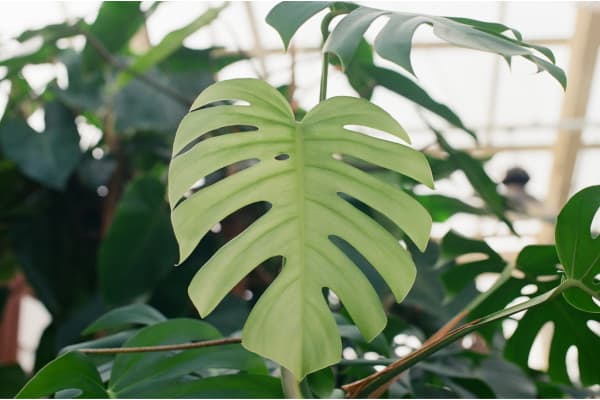 a healthy monstera leaf because of the reasons listed in the why does my monstera deliciosa have yellow leaves article