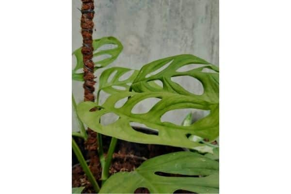 a monstera being trained to grow on a moss pole