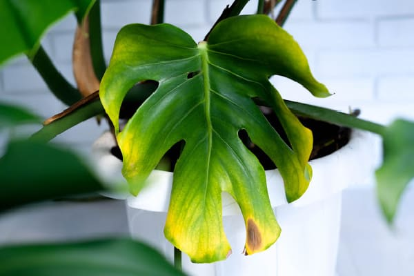 monstera leaves yellowing that may be due to overwater or lack of sunlight