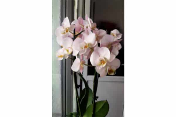 light pink healthy orchid placed by the south facing window