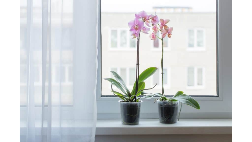 orchids in clear plastic pots on a windowsill