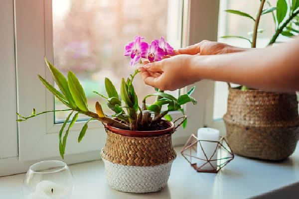 orchid receiving the best light by the window (as explained in how much light do orchids need article)