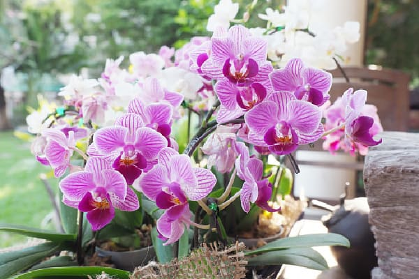 orchid outside receiving direct sunlight