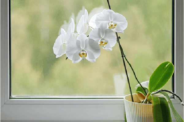 white orchids placed near a south-facing window