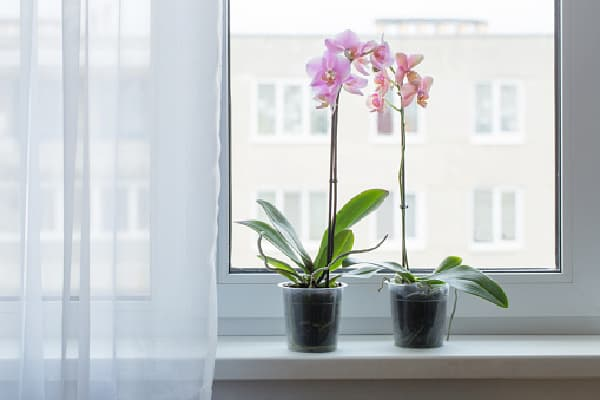 orchids placed in a clear pot by the window
